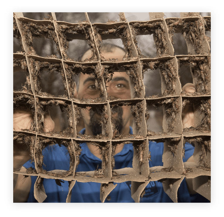Photo of a male Entomo Farms team member, looking through a cardboard honeycomb used for cricket farming