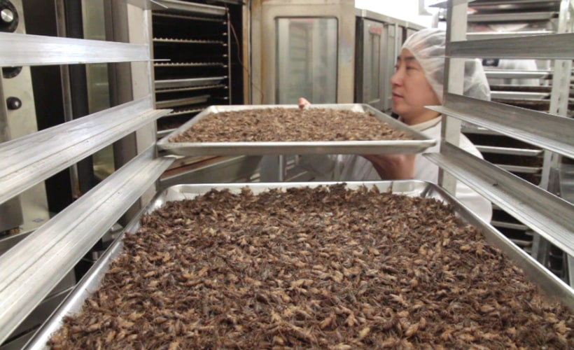 Photo of an Entomo team member preparing crickets to be roasted.