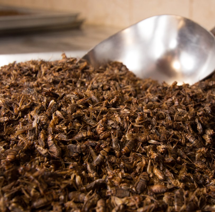 Photo of a pile of dry roasted crickets.